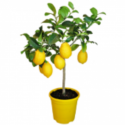 lemon-tree-to-barcelona.jpg